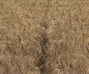 Žetva pšenice u toku